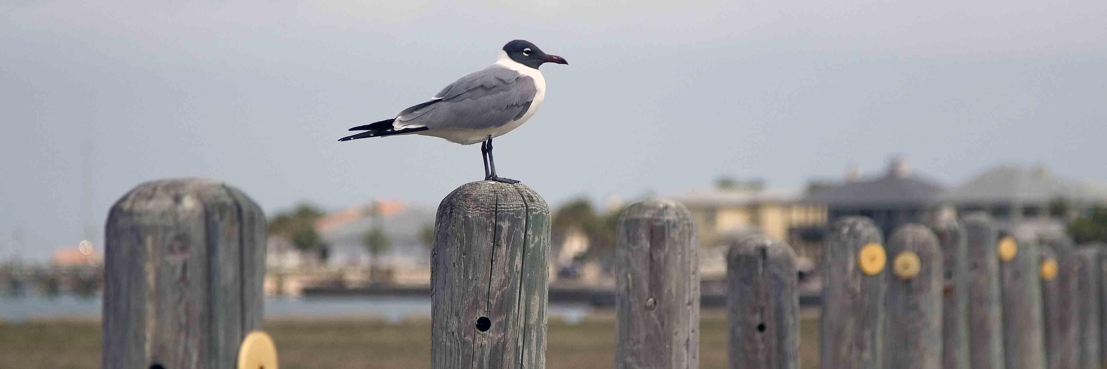 Bird on a post in Port Aransas Texas
