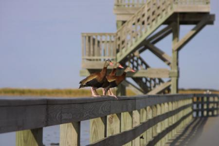 A raised boardwalk that is wheelchair accessible extends out into the cattails for a close-up encounter with birds, alligators, fish and more. An observation tower offers a panoramic view of the pond and the surrounding flats. A free viewing scope is mounted on the tower and a free ADA-compliant scope is available at another viewing box along the boardwalk.