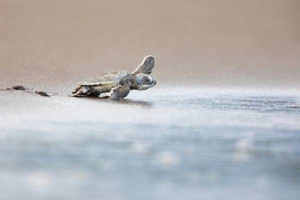 Padre Island National Seashore baby seaturtle