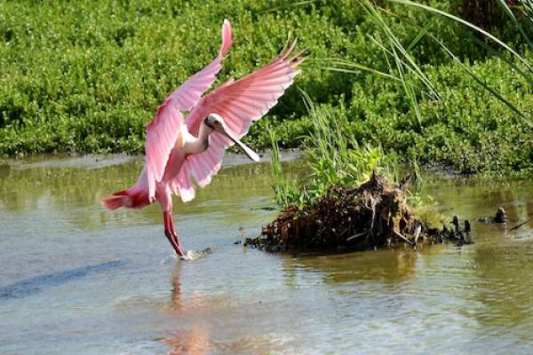 roseate spoonbills in port aransas texas